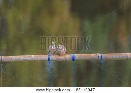 Two doves perched on a timber natural colored background.
