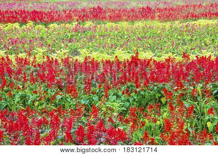 Colorful beautiful flowers blooming in the garden Bogor West Java Indonesia
