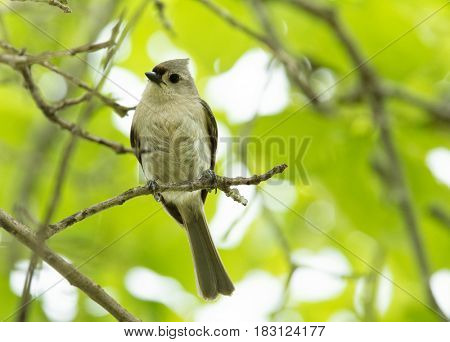 Tufted Titmouse perched on a twig, looking at the viewer
