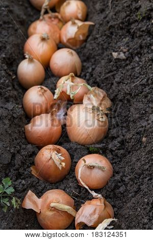 Onion Planting In The Spring