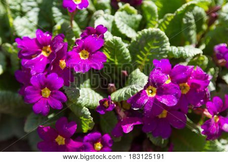 The First Flowers Are Purple