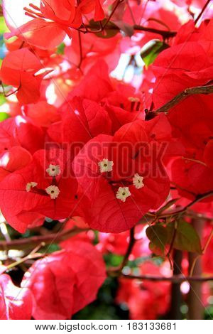 Beautiful pink flowers with white center in backyard garden
