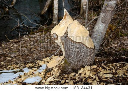 Trees the beavers nibbled. Building material for lodges and dams from beaver. Wild world of animals in rivers. Habitat aquatic mammals.
