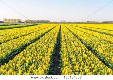 Yellow colored tulip flowers in long converging flower beds at a specialized Dutch bulb nursery. It is early in the morning of a sunny day in the beginning of the spring season.