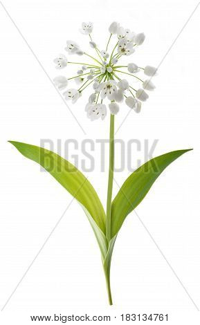 Ramsons Plant Isolated