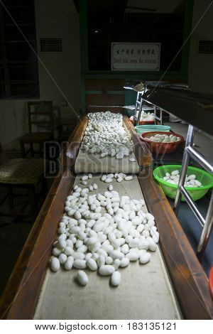 SUZHOU China. April 18 2017: Picture of silkworm cocoons on spinning manufacturer in Suzhou China