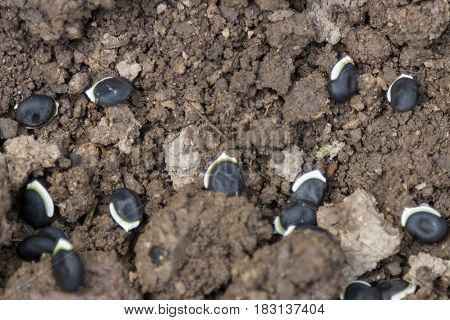 Beans In The Ground