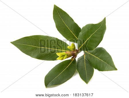 Laurel branch isolated on a white background