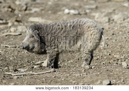 Mangalica a cute Hungarian breed of domestic pig