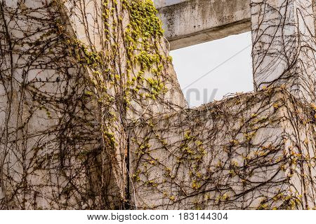 Creeping Ivy vines with small green leaves crawling up the side of a concrete wall