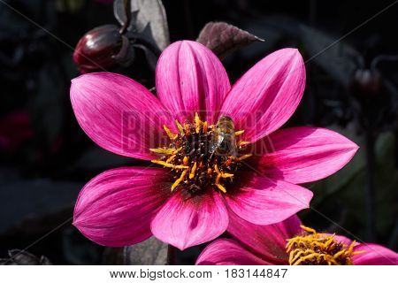 Bee On Dahlia In The Garden
