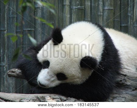Giant panda bear resting on a fallen tree branch.