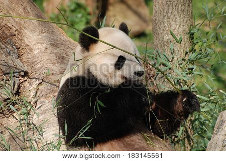 Cute giant panda bear eating shoots of bamboo.