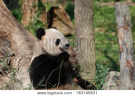 Panda bear munching on some bamboo shoots.