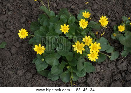Ficaria verna with bright yellow flowers from above