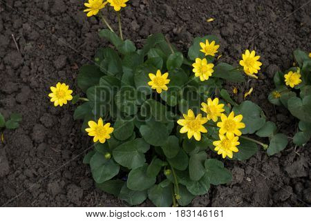 Ficaria verna with yellow flowers from above