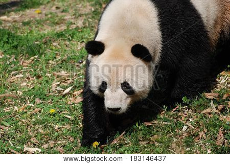 Really cute face of a black and white giant panda bear.
