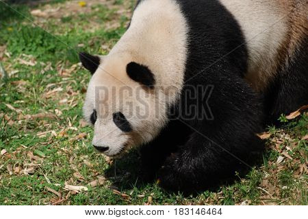 Cute giant panda bear waddling around with a sweet expression.