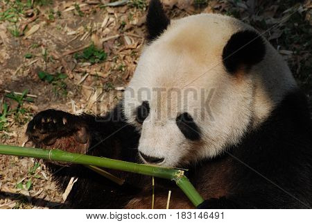 Giant panda bear up close eating bamboo shoots.