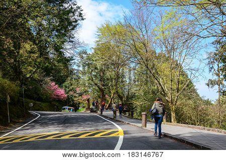 Pine Tree Forest In Alishan, Taiwan