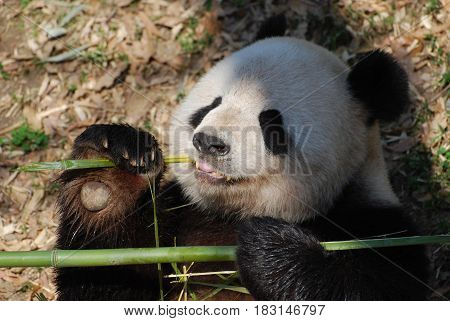 Giant panda bear holding bamboo in his paw while he eats.