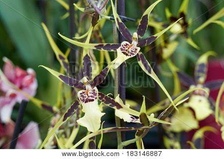 Orchid In Bloom For Present
