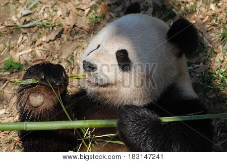 Adorable giant panda bear eating bamboo shoots.