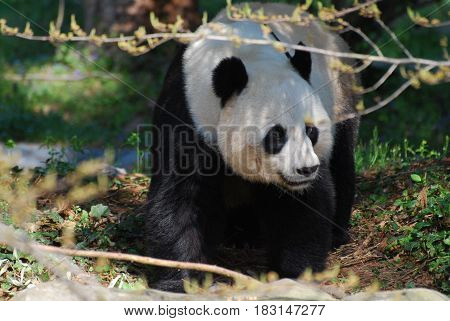 Really cute panda bear walking between tree branches.