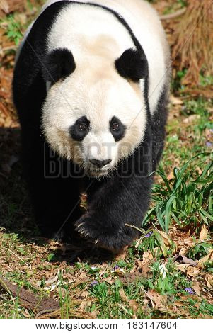 Amazing giant panda bear with a very sweet expression.