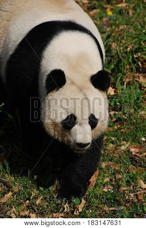 Giant panda bear walking forward in a large field.