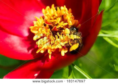 Floral background. Honey bee collecting nectar from pollen of red blooming flower, close-up, shallow depth of field
