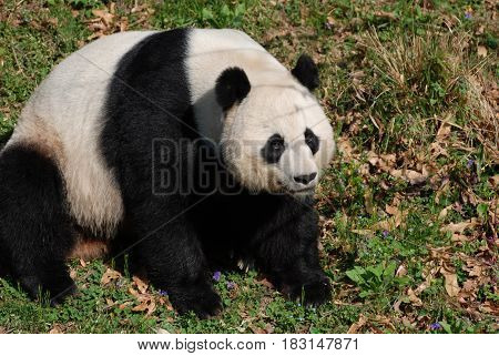 Really cute large black and white giant panda bear sitting.
