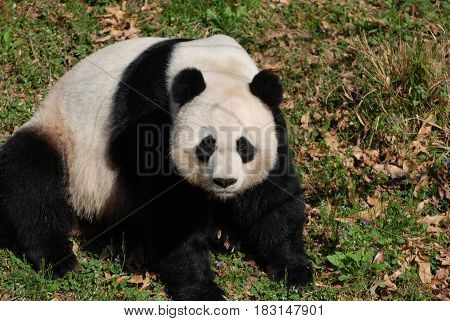 Really cute giant panda bear sitting on a grass area.