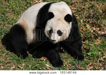 Gorgeous giant panda bear sitting back on his haunches.