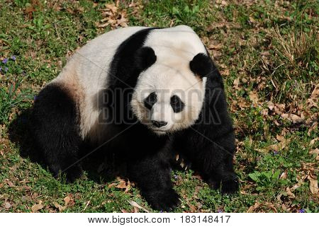 Panda bear sitting in a green grass field.