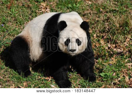 Giant panda bear sitting back on his haunches in grass.