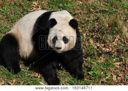 Sweet faced black and white giant panda bear sitting on his backside.