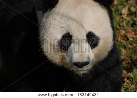 Giant panda bear with a grim facial expression.