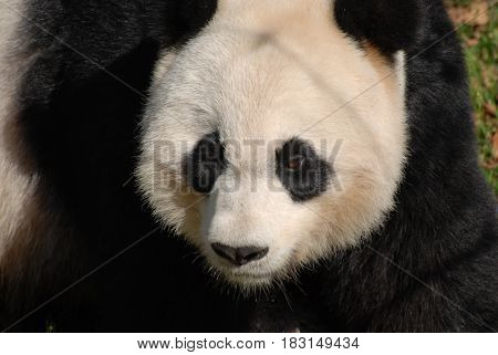 Really cute face of a large fluffy giant panda bear.