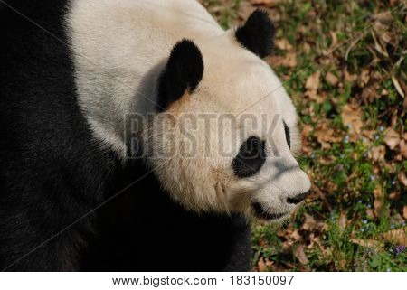 Gorgeous look at a profile of a giant panda bear.