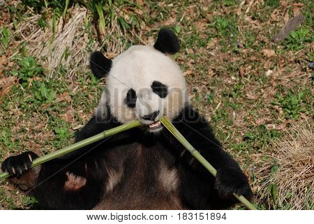 Cute giant panda eating bamboo shoots from the center.