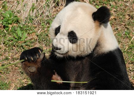 Panda bear holding on to shoots of bamboo and eating.