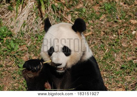 Cute giant panda bear eating shoots of green bamboo.