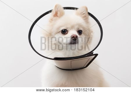 White Pomeranian with space collar