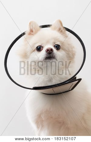 White Pomeranian with protective lampshade