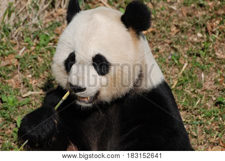 Lovely look at the face of a hungry panda bear.