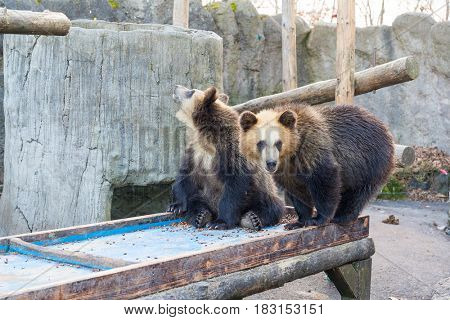 Cute little bear play together