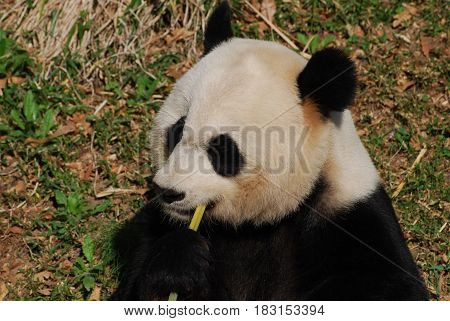 Beautiful black and white panda bear eating green bamboo shoots.