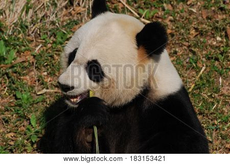 Beautiful Chinese giant panda bear eating green bamboo.