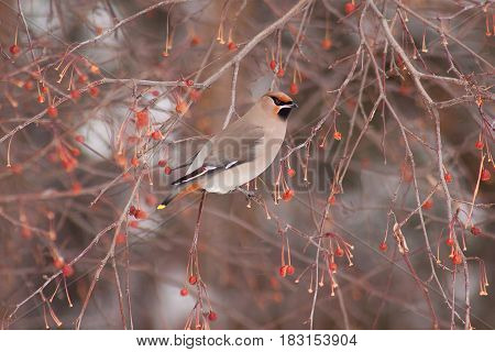 Beautiful waxwing eating an crab apples. Morning in winter forest